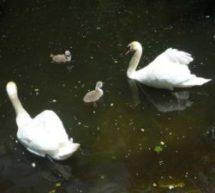 В вольерном комплексе Тебердинского государственного биосферного заповедника впервые за 15 лет пара белых лебедей-шипунов произвела потомство