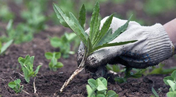 С 29 июня в КГО объявлены дни борьбы с карантинной растительностью
